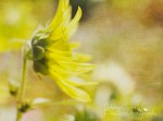 00 - Sunflower Yellow