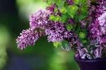 Lilacs in Vase II