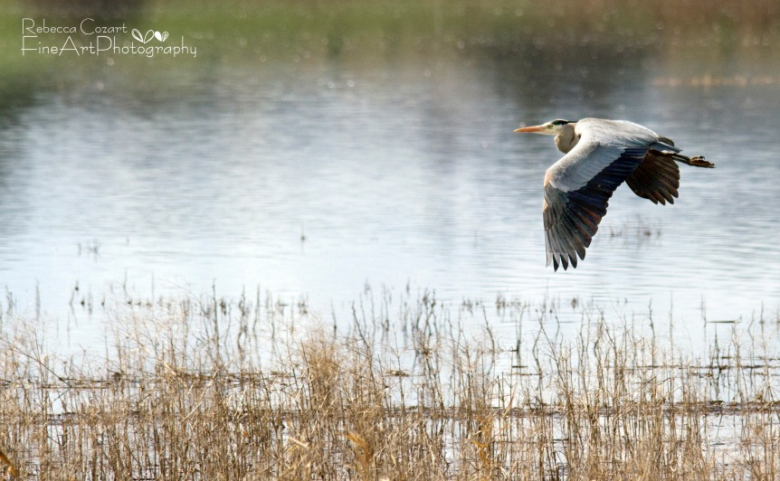 Birds - Flying Heron