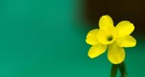 Daf - Wingle tiny yellow