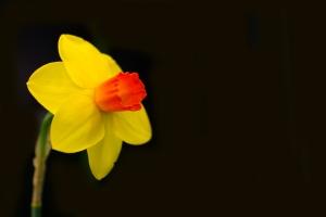 Flower - Daf Single Yellow