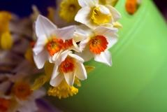 Flower - Dafs in green pot
