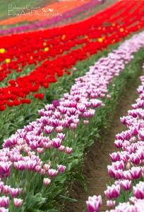 Tulips - field