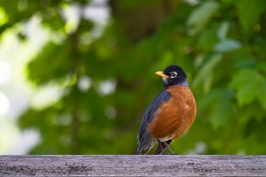Robins - Dad on Fence