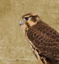 Bird - falcon