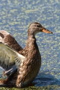 Muck - duck poster
