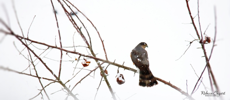FB - Hawk in Branches