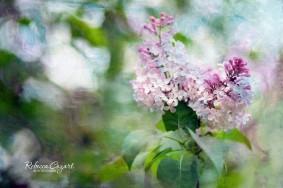 FB Lilacs - On Tree 2