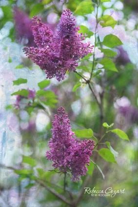FB Lilacs - On Tree
