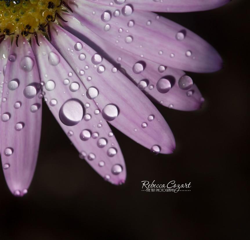 MACRO - water daisy 1