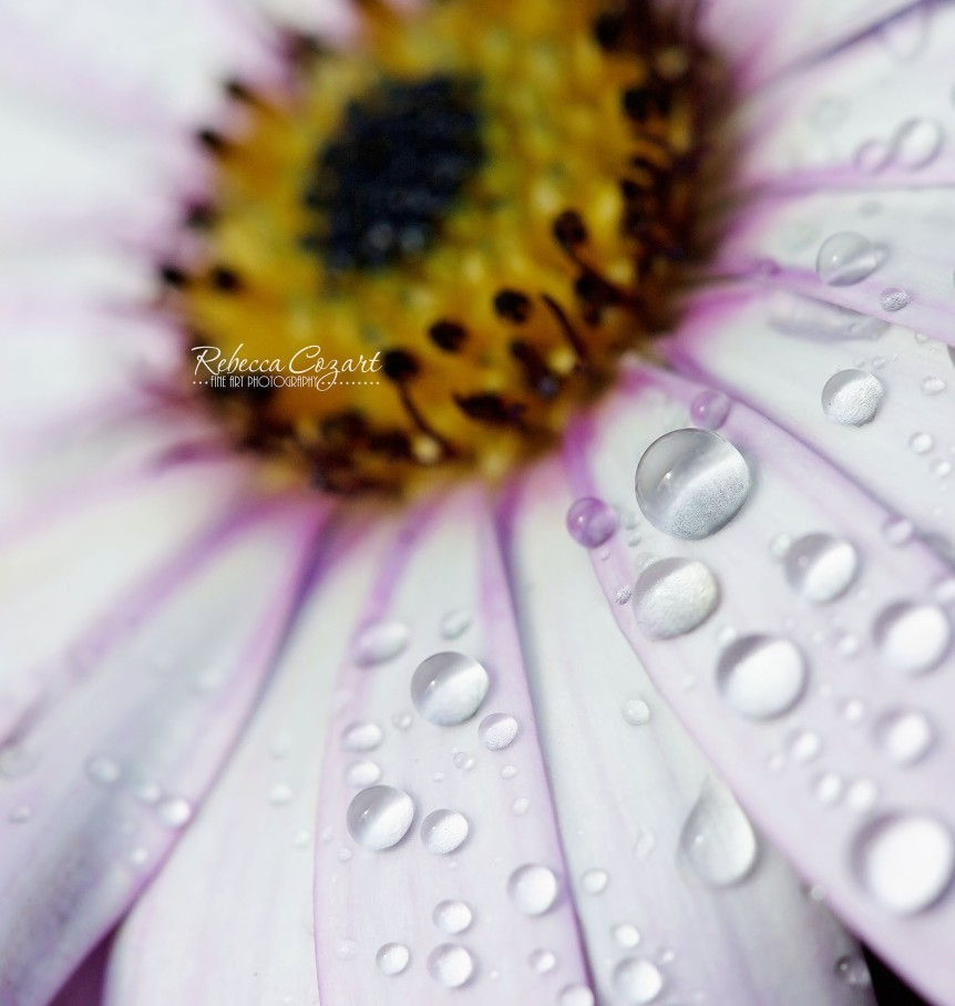 MACRO - water daisy white drops 2