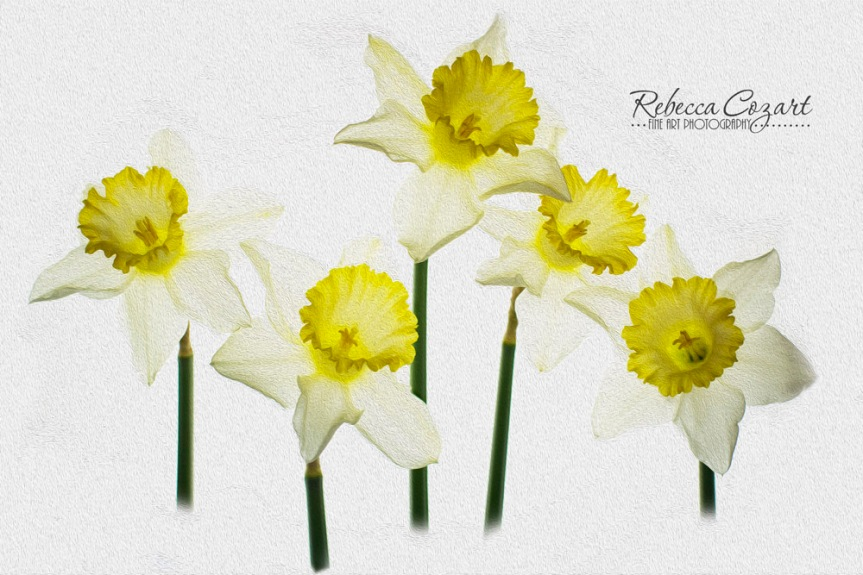 OIL PAINT - DAFFODILS