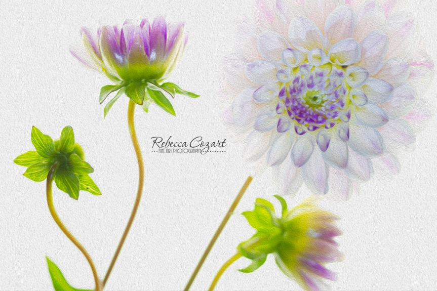OIL PAINT - Dahlia on White