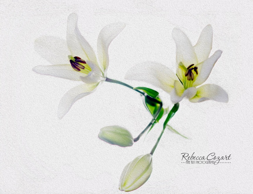 OIL PAINT - white lilies