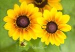 Yellow flowers trio