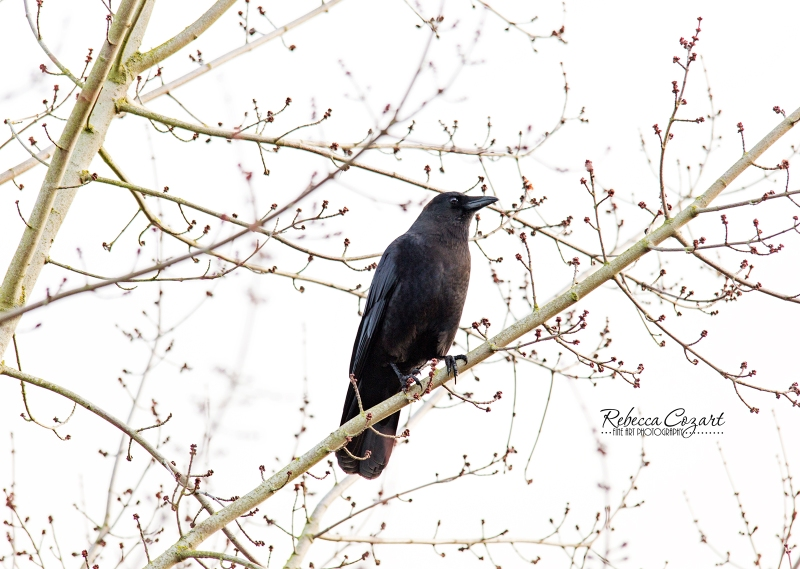 BIRD - Crow in tree
