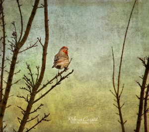 BIRD - Finch in tree