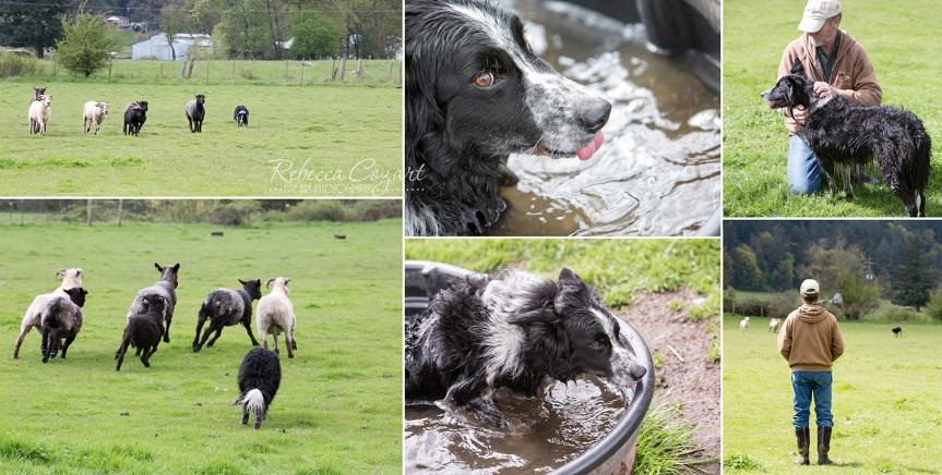 Sheep collage 2