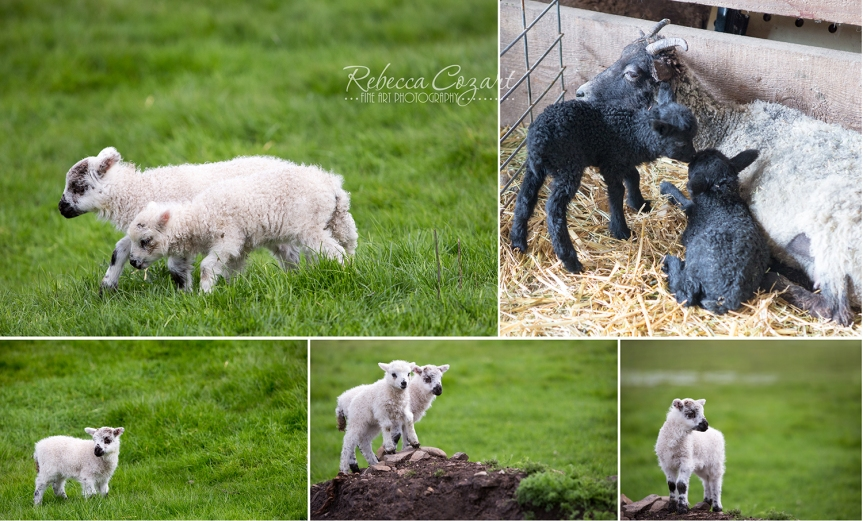 Sheep collage 3