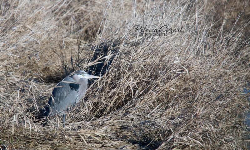 BIRDS - Heron in weeds 2