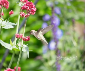 BIRDs - hummingbird in garden 1