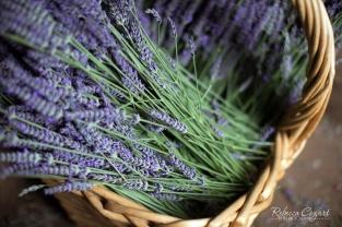 Lavender 13