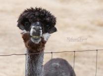 alpaca5