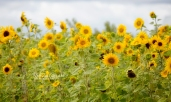 FLOWERS - sunflowers by the road