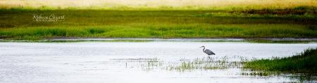 HERON in pond