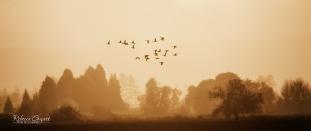 landscape-geese-flying-wit-golden-hue