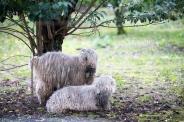 odd-two-odd-sheep