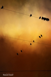 birds-starlings-on-wire-with-texture