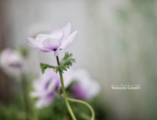 FLOWERS - Anemone purple 2