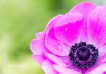 FLOWERS - Anemone purple center 1