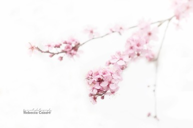 FLOWERS - Cherry Blossoms 3