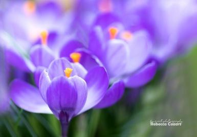FLOWERS - Crocus purple