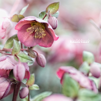 FLOWERS - Heleboreous pink